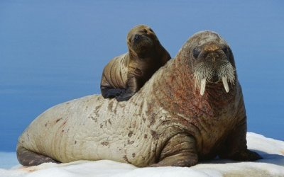 День моржа с музее Арктики и Антарктики