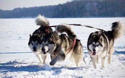 Приглашаем в парк Сосновка на катание на ездовых собаках и игры с Дедом Морозом (новогодними зайцами